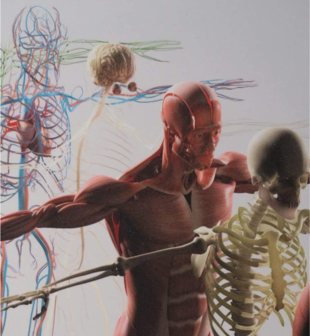 picture of human body skeleton and muscles