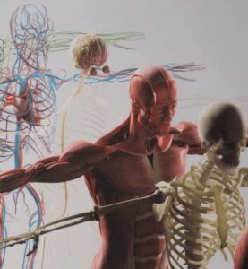 image du squelette et des muscles du corps humain